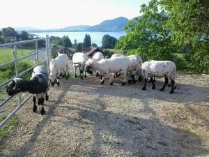 Schafe geschoren